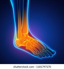 Human Foot Anatomy Illustration. 3D rendering