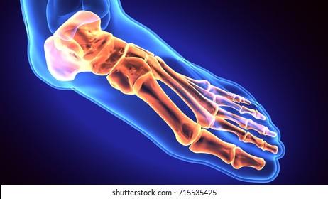 Human Foot Anatomy Illustration . 3D render