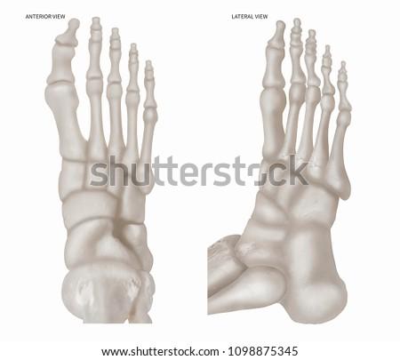 Human Foot Bone Anterior View Lateral Stock Illustration 1098875345