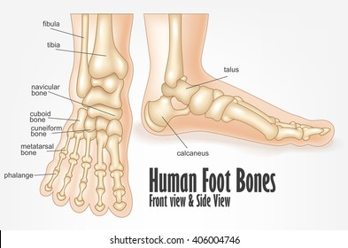 Similar Images Stock Photos Vectors Of Heel Spur Bones Foot Ankle