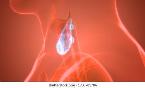 Human Glands Thyroid Gland Anatomy. 3D