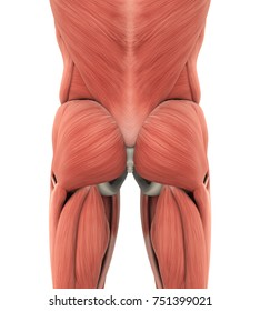 Human Gluteal Muscles Anatomy. 3D rendering
