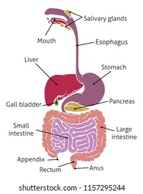 A human gut digestive system gastrointestinal anatomical tract diagram