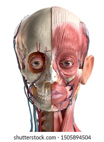Human head anatomy 3d illustration. Showing skull, facial muscles, veins and arteries. On white background.