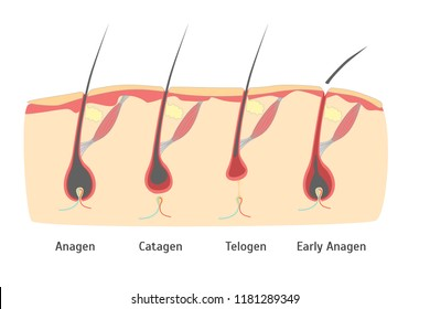 Human Head Hair Growth Cycle in Cut for Card, Placard. illustration