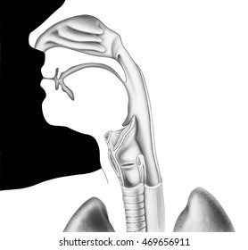 Human head and neck, shown from the nose to the shoulder in cross section. Shown are the nasal cavity, mouth, tongue, epiglottis, larynx, vocal cords, esophagus, and trachea (windpipe).