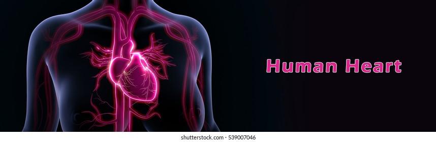 Human heart 3d illustration