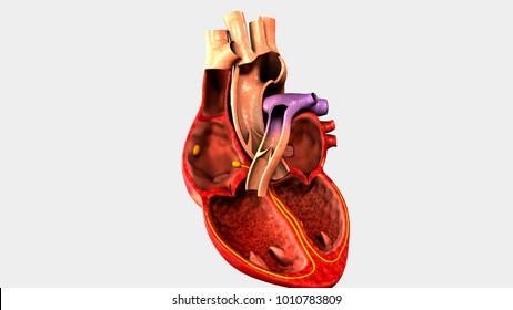 Human heart anatomy 3d illustration