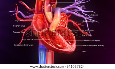 Human Heart Anatomy 3 D Illustration Stock Illustration 541067824