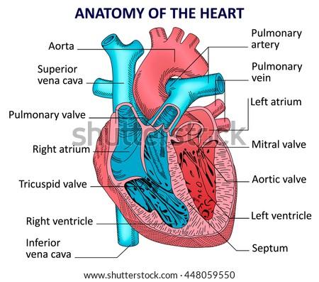 Cardiology Anatomy Diagram Human Diy Enthusiasts Wiring Diagrams
