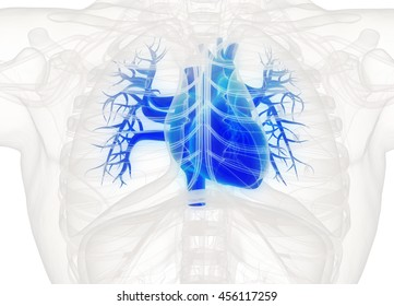 Human heart anatomy. Blue heart on white background. 3d illustration.