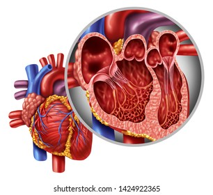 Human heart anatomy close up diagram concept from a healthy body isolated on white background as a medical health care symbol of an inner cardiovascular organ.