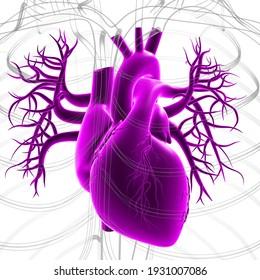 Human Heart Anatomy For Medical Concept 3D Illustration