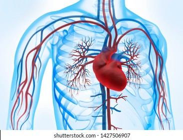 Human heart with blood circulation system - 3D illustration