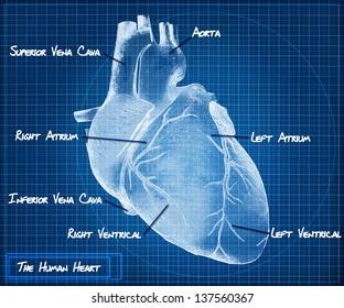 The Human heart blueprint concept.