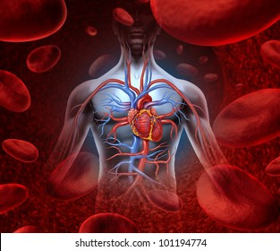 Human heart circulation cardiovascular system with anatomy from a healthy body on a background with blood cells as a medical health care symbol of an inner organ as a medical health care concept.