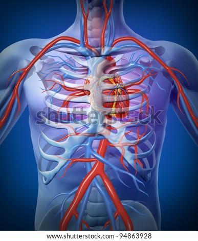 Cardiovascular System Diagram Project - Custom Wiring Diagram •