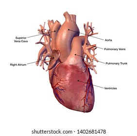 Human Heart with Coronary Arteries and Veins in Isolation, Labeled 3D Rendering