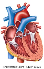 Thoracic Cavity Images, Stock Photos & Vectors | Shutterstock