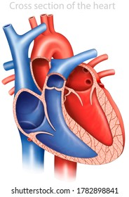 The human heart, descriptive and anatomical diagram, cross section of the heart and the main parts that compose it.
