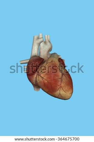 Human Heart Featuring Right Left Ventricle Stock Illustration ...