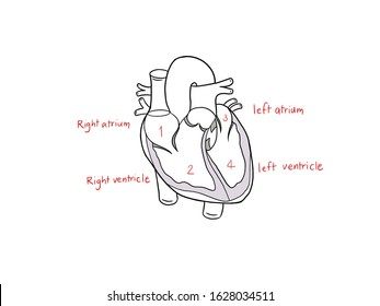 human heart is made up of four chamber, left and right atrium, left and right ventricle