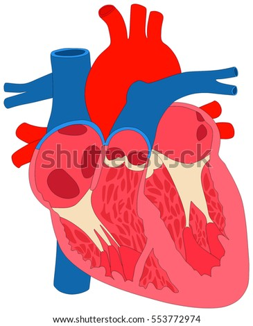 Human Heart Muscle Anatomy Cross Section Stock Illustration ...