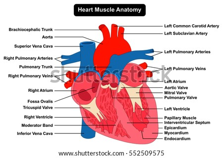 Human Heart Muscle Anatomy Infographic Chart Stock Illustration ...
