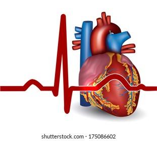 Human heart normal sinus rhythm, electrocardiogram record.