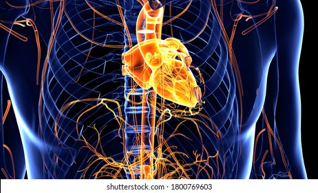 The Human Heart is an organ that pumps blood throughout the body via the circulatory system  supplying oxygen and nutrients to the tissues and removing carbon dioxide and other wastes.3D