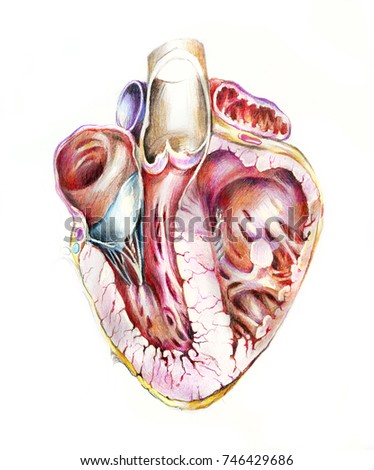 Human Heart Section Detailed Anatomy Handdrawn Stock Illustration