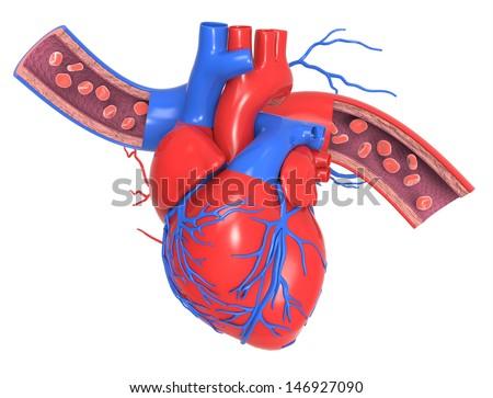 Human Heart Veins Arteries Stock Illustration 146927090 - Shutterstock