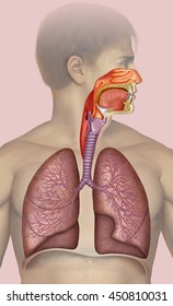 Human, Illustration and schematic descriptive respiratory system, comprising lungs and bronchi.