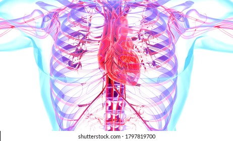 Human Internal Circulatory System Anatomy and physiology.3D illustratoin