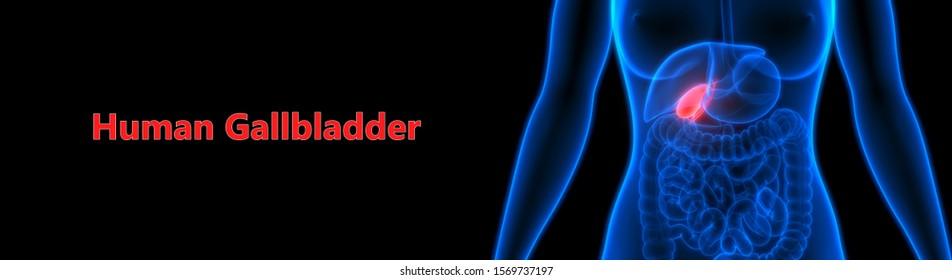 Human Internal Digestive Organ Gallbladder Anatomy. 3D