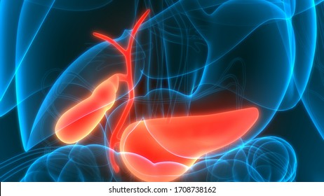 Human Internal Organs Gallbladder with Pancreas Anatomy. 3D