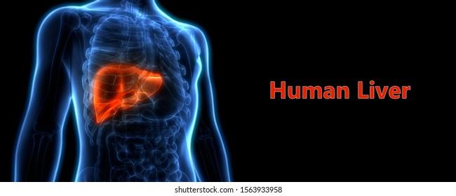 Human Internal Organs Liver Anatomy. 3D