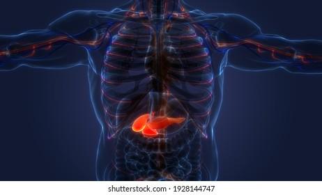 Human Internal Organs Pancreas with Gallbladder Anatomy. 3D