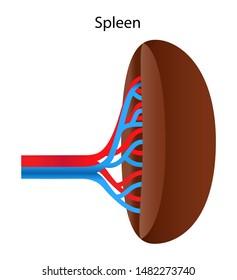 Human internal organs: spleen and its blood vessels. Illustration.