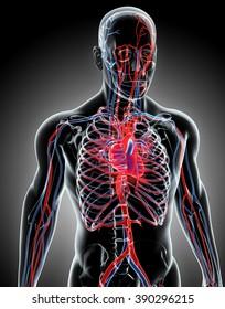Human Internal System - Circulatory System, medical concept.