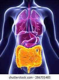 Human Intestine Anatomy