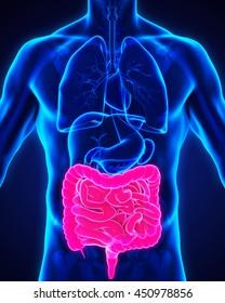 Human Intestine Anatomy Illustration. 3D rendering