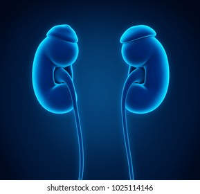 Human Kidneys Anatomy. 3D rendering