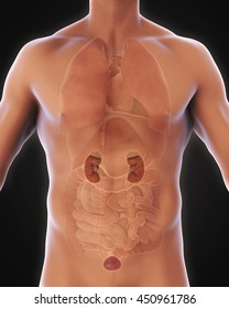 Human Kidneys Anatomy Illustration. 3D rendering