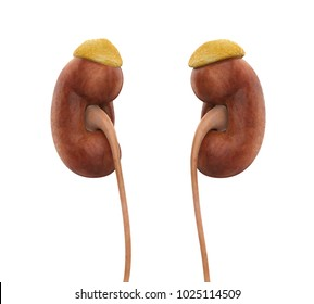 Human Kidneys Anatomy Isolated. 3D rendering
