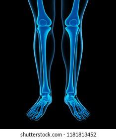 Human Leg Bones Anatomy. 3D rendering