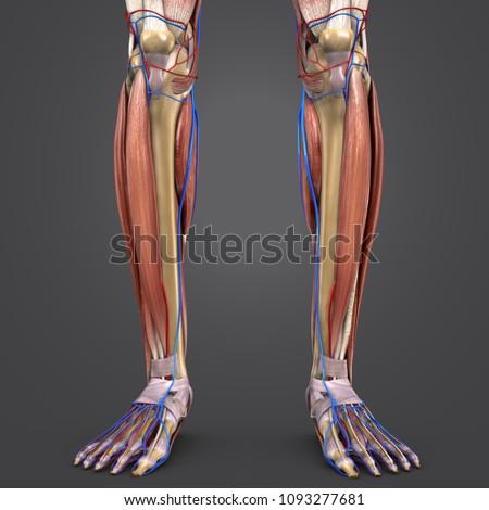 Human Legs Muscle Anatomy Skeleton Arteries Stock Illustration ...