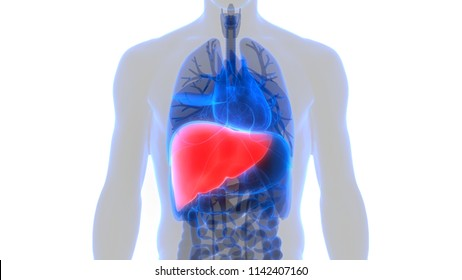 Liver Anatomy Images Stock Photos Vectors Shutterstock