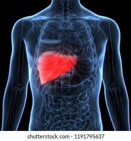 Human Liver Anatomy. 3D