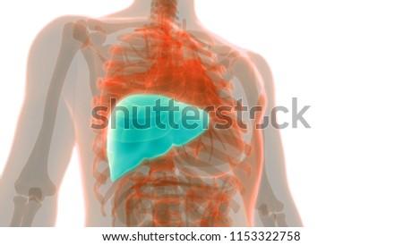 Human Liver Anatomy 3 D Stock Illustration 1153322758 - Shutterstock